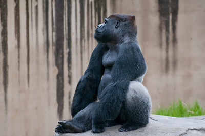 Large male gorilla looking out on his domain.