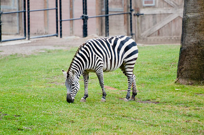 Zebra grazing on the grass.
