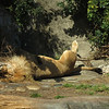 Lion king lyin around in the sun