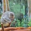 Snoozin Koala