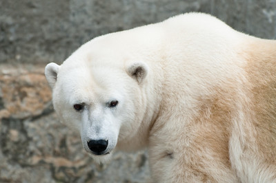 Polar bear looking back at the people.