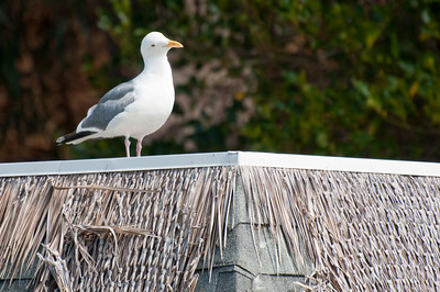 Seagull looking for a easy meal.