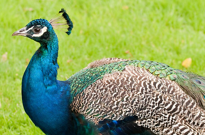 Mighty Peacock.