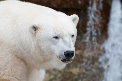 Lovely white ice bear.