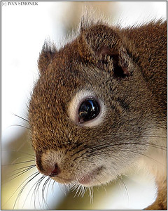 """IN YOUR FACE"", a squirrel, Wrangell, Alaska, USA."