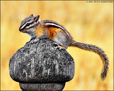 """ON TOP"",a Chipmunk,Telegraph Creek,B.C.,Canada."