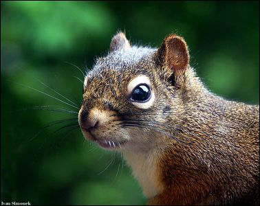 """NOW  WHAT???"", a squirrel, Wrangell, Alaska, USA.-----""A CO TED???"", veverka, Wrangell, Aljaska, USA."