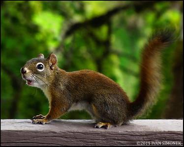 """""""NOISEMAKER"""",a Squirrel,Wrangell,Alaska,USA."""