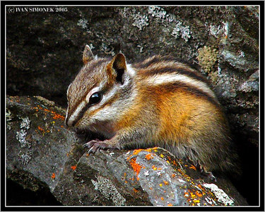 """CHIP"", a chipmunk, Telegraph Creek, B.C., Canada."