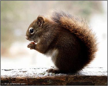 """BON APETIT"", a squirrel, Wrangell, Alaska, USA-----""DOBROU CHUT""."