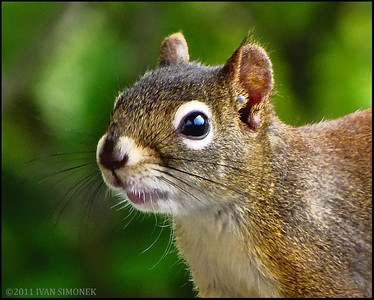 """NO MORE PHOTOS PLEASE"",a squirrel,Wrangell,Alaska,USA."