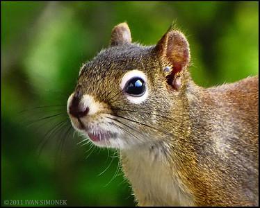 """""""NO MORE PHOTOS PLEASE"""",a squirrel,Wrangell,Alaska,USA."""