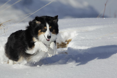 Shelby hunting for mice in the snow.