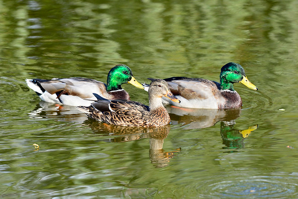 SUNDAY MALLARDS 10-15-17