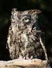 Bearded Screech Owl-4