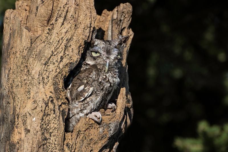 Bearded Screech Owl-1