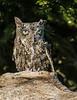 Bearded Screech Owl-3
