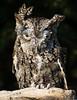 Bearded Screech Owl-5