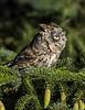 Bearded Screech Owl-2