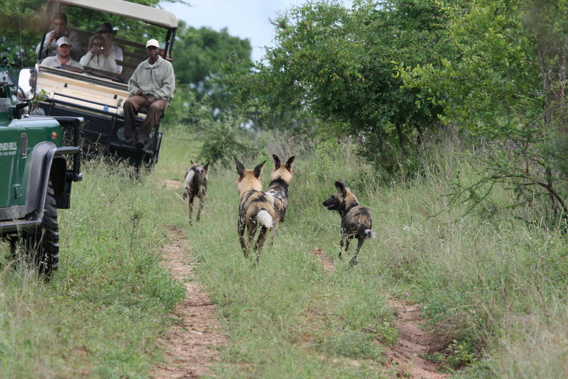 4 of the pack of 6 wild dogs on their way to share the kill of the other 2!