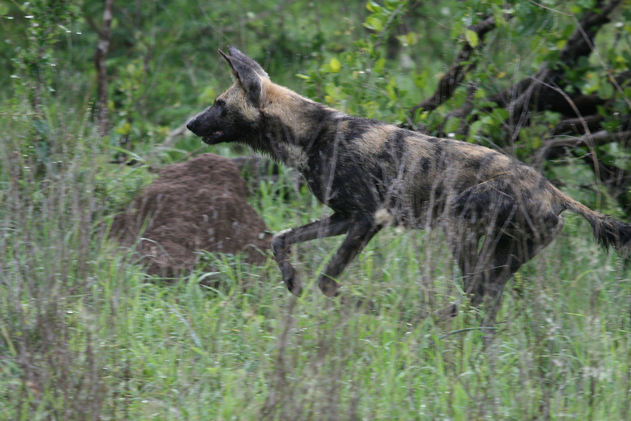 Wild Dog on his way to the kill!