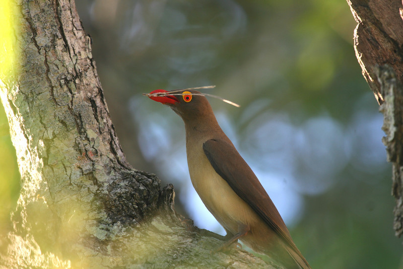"Oxpecker Bird - they ""groom"" Buffalo and Giraffe of their parasites"