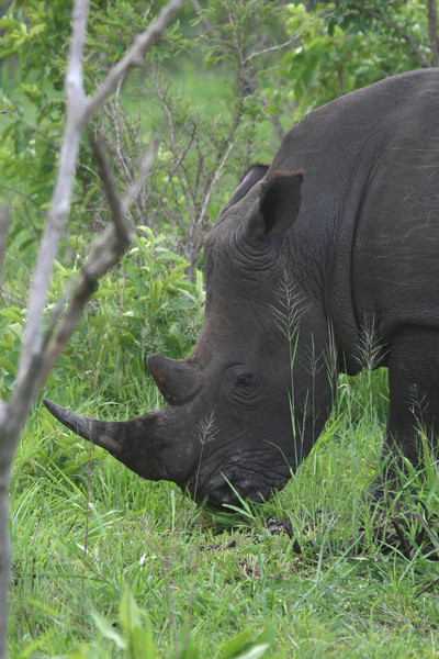 White Rhino (wide mouthed)
