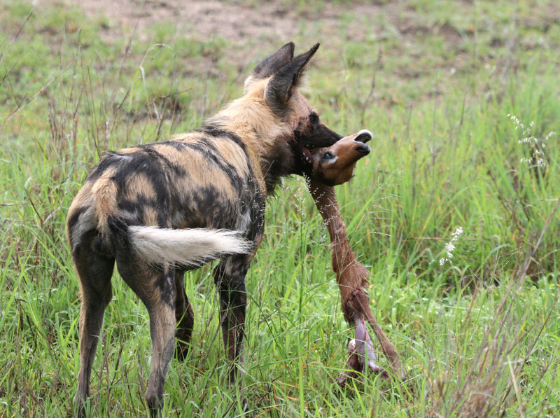 Wild Dog with what is left of the Impala kill!