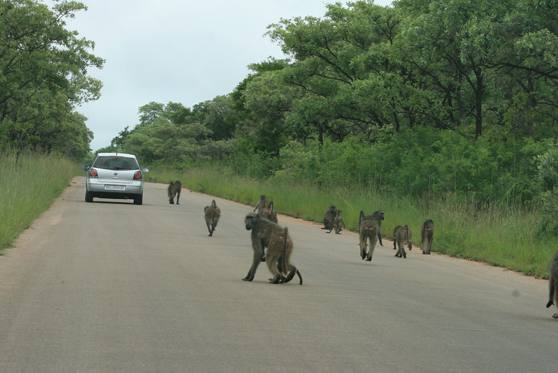 Troop of Baboons on one of Krugers main roads