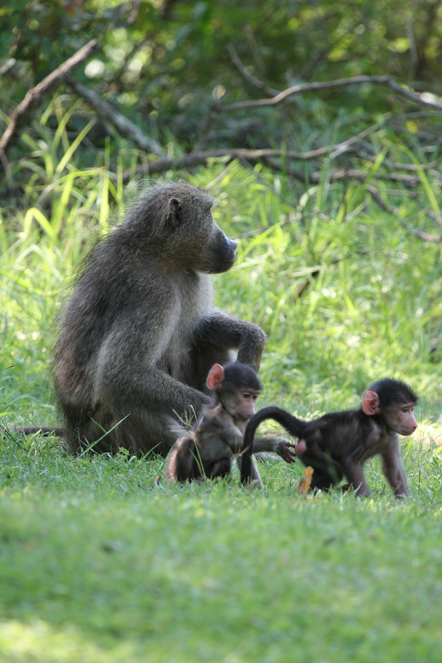 Chacma Baboon with young