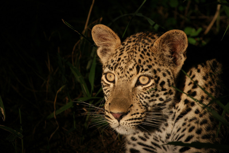 Young Leopard cub waiting for mum to call her to dinner!