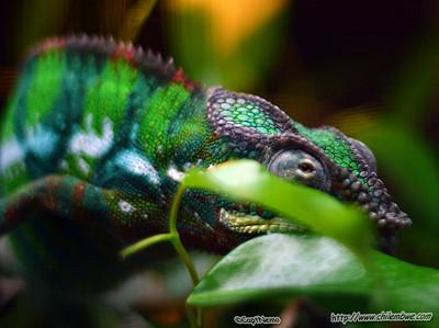 sacramento reptile expo and show 2006 Chameleon