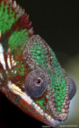 sacramento  reptile  expo  2007 Chameleon