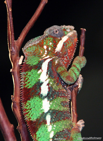sacramento  reptile  expo  2007Chameleon