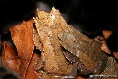 sacramento  reptile  expo  2007 Leaf frogs