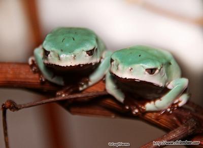 sacramento  reptile  expo  2007 frog s
