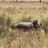 Most of our other hippo encounters had the hippos almost completely submerged. The yawn occurs at the end of the clip.
