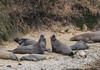 Juvi male Elephant Seals practicing their future macho
