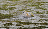 River Otter in pond by natal den