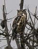 Great Horned Owl, adult
