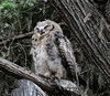 Great Horned Owl, baby, 5 wks