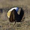 Sage Grouse, male, near Craig Colorado.