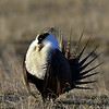 Sage Grouse, male, near Craig Colorado.  This is the first of a sequence that runs thru photo 21.