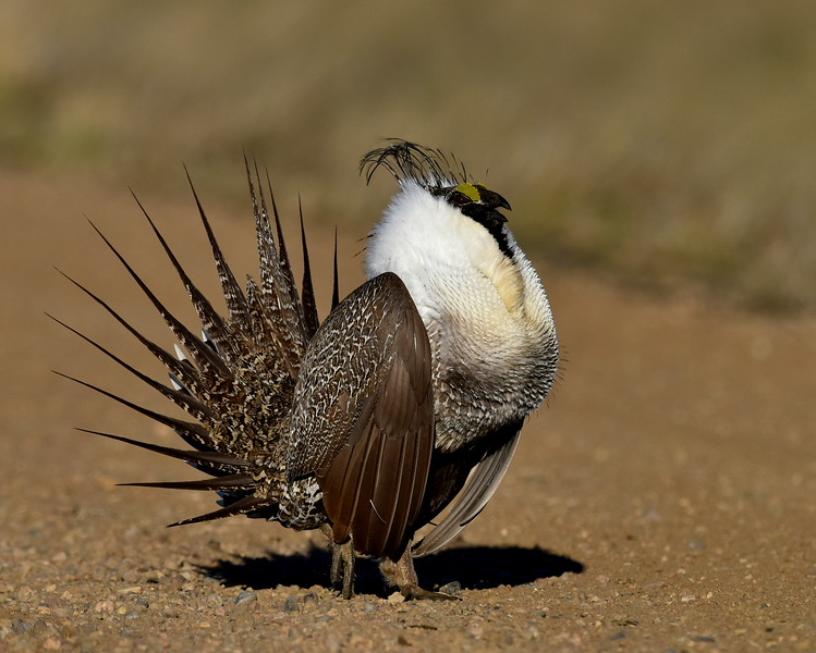 Sage Grouse, male, near Craig Colorado.  I would prefer that this bird were in the grass, but he was just too accommodating and the light was too good to pass on the photo.