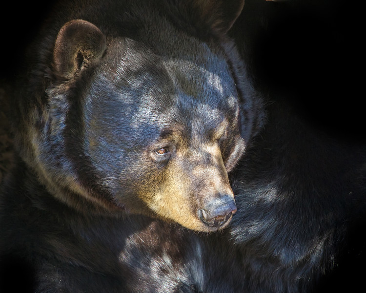 Portrait - Black Bear