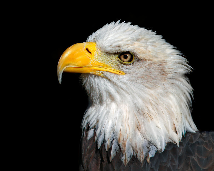 Bald Eagle<br /> Salato Wildlife Center<br /> Frankfort, KY