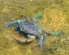 Atlantic blue crab, Chesapeake Blue Crab (Callinectes sapidus)