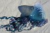 Portuguese man of war Jellyfish (Physalia sp.)