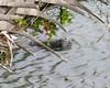 Manatee (Trichechus manatus ssp. latirostris)