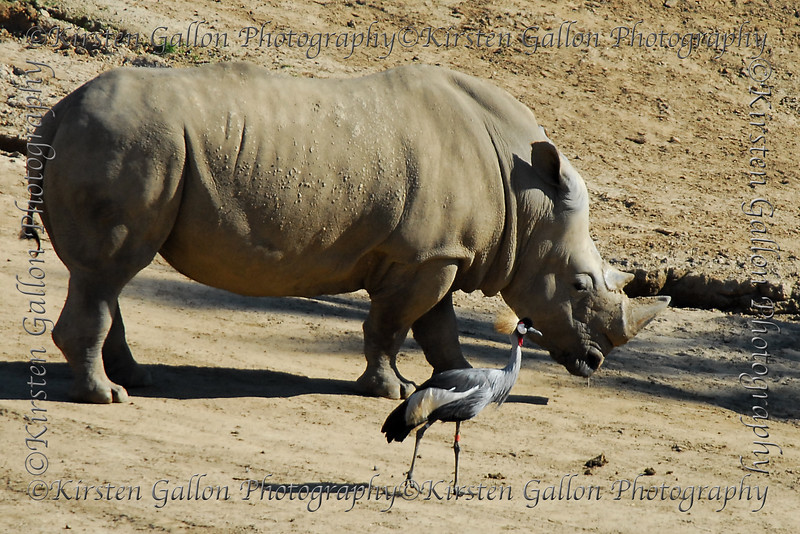 Rhinoceros and friend.